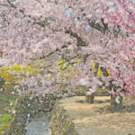 Hanami – Holiday of cherry blossoms
